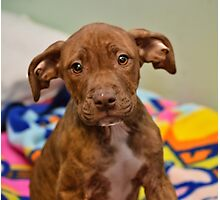 Pit Bull Mix Puppy  Photographic Print