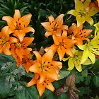 Yellow & Orange Lilies in my garden. by David Roberts
