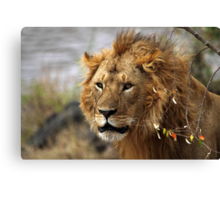 Cat: Large Male Lion Looking Intently as He Comes Out of the Bush, Maasai Mara, Kenya  Canvas Print