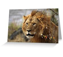 Cat: Large Male Lion Looking Intently as He Comes Out of the Bush, Maasai Mara, Kenya  Greeting Card
