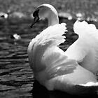 Mute Swan by finkycake