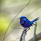 Male Splendid Fairy-wren by mncphotography