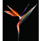 "'Bird of Paradise' from the series ""Inner Bloom"" by Paul Cotelli"