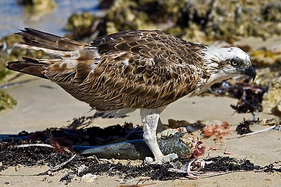 Osprey with Fish  by mncphotography