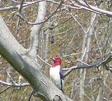 Redheaded Woodpecker by suebankert