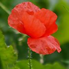 Wild Poppy by AnnDixon