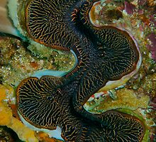 Giant Clam by Douglas Stetner