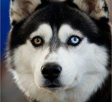 Siberian Husky by ozczecho