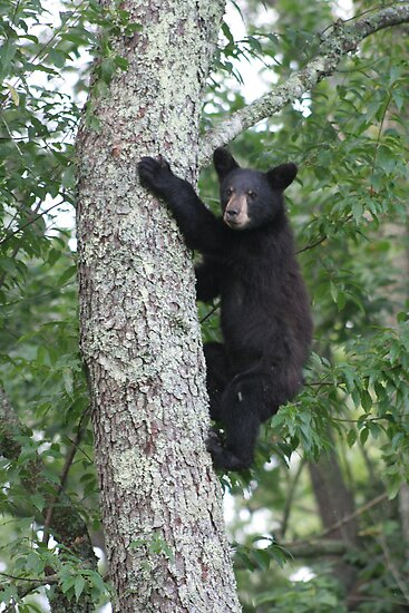 bear cub coming down tree by Christopher  Ewing