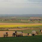 Sheep, Lyth Hill by Frances Knight