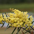 Australian Wattle. by minniemanx