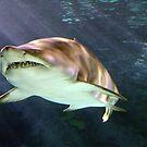 Shark in Motion by vette