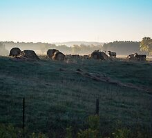 Early Morning Cows In The Countryside by MissDawnM