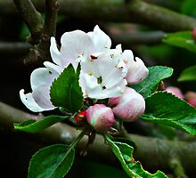 Apple Blossom by Face