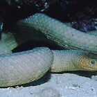Olive Seasnake by Erik Schlogl