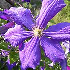 Purple Clematis by Martha Medford