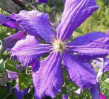 Purple Clematis by Martha Medford