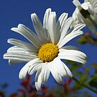 Daisy by richiewright