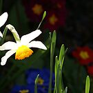 Daffodil contrast by richiewright