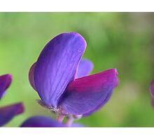 Purple Lupin Close Up Photographic Print