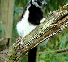 Black and White Ruffed Lemur  by TANYA WILLIAMS