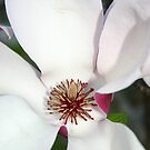 Magnolia by Donna