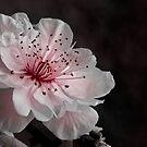 Plum Blossom by Andre Gascoigne