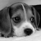 Beagle Pup 3 by ronibgood