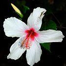 Hibiscus by Carl Osbourn