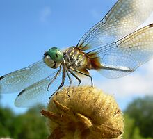 dragonfly by mwfoster