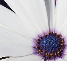 Daisy extraordinaire by Rod Raglin