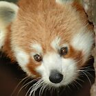 Red Panda by georgyman