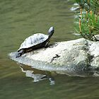 Turtle by oscarcwilliams