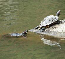 Turtle by oscarcwilliams