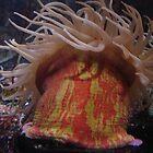 Sea Anemone by cfam