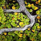 Wrapped Fagus, Mt Field, Tasmania by Jim Lovell