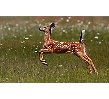 Summer Fawn - White-tailed Deer Photographic Print