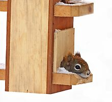Anyplace is home when its cold - Red Squirrel by Jim Cumming