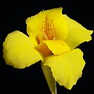 Yellow Canna by Gary L   Suddath
