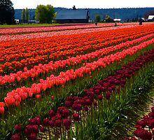 A day at the Tulip fields by Jeffrey  Sinnock