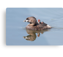 """""""Mom!...Timmy won't move over!"""" Pied-billed grebes Metal Print"""