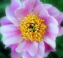 Peony  by AnneRN