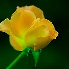 yellow rose by etccdb