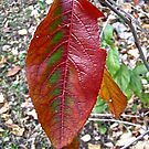 Last Red Leaf by Shulie1
