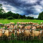 Staring Sheep by Christiaan
