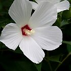 White Flower with Red Center by Dan Cahill