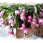 Christmas Cactus - weeping variety by EdsMum