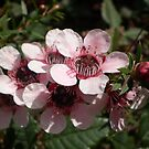 Dwarf Leptospermum by Hippo