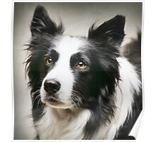 Working Border Collie Poster