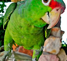 Parrot 1 by DigitalMuse